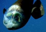Опистопроктовая рыба