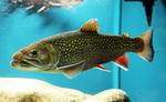Рыба породы Палия в аквариуме