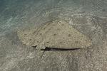 Гимунурованные- порода рыб