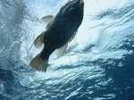 Рыба на поверхности