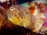 Рыбка семества присоски