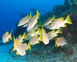 Стая Кубинских желтохвостов