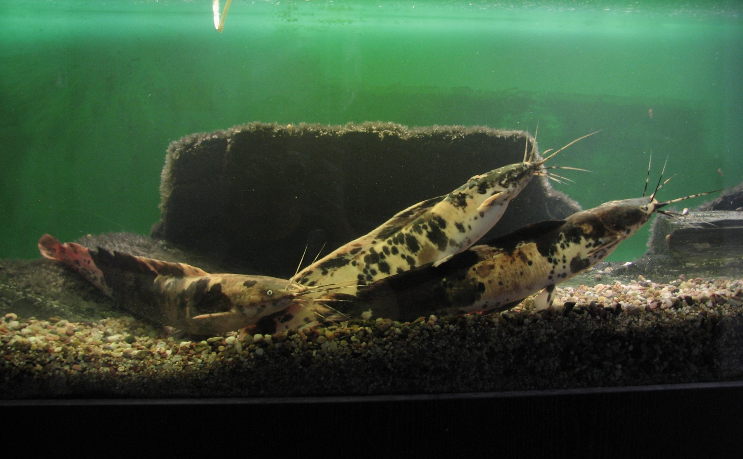 Клариевая рыба фото