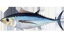 Длинноперый тунец фото