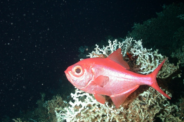Рыба берикс (Альфонсино) фото