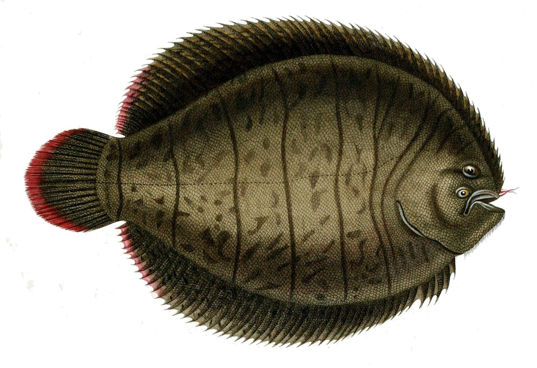 Американская рыба-подошва фото