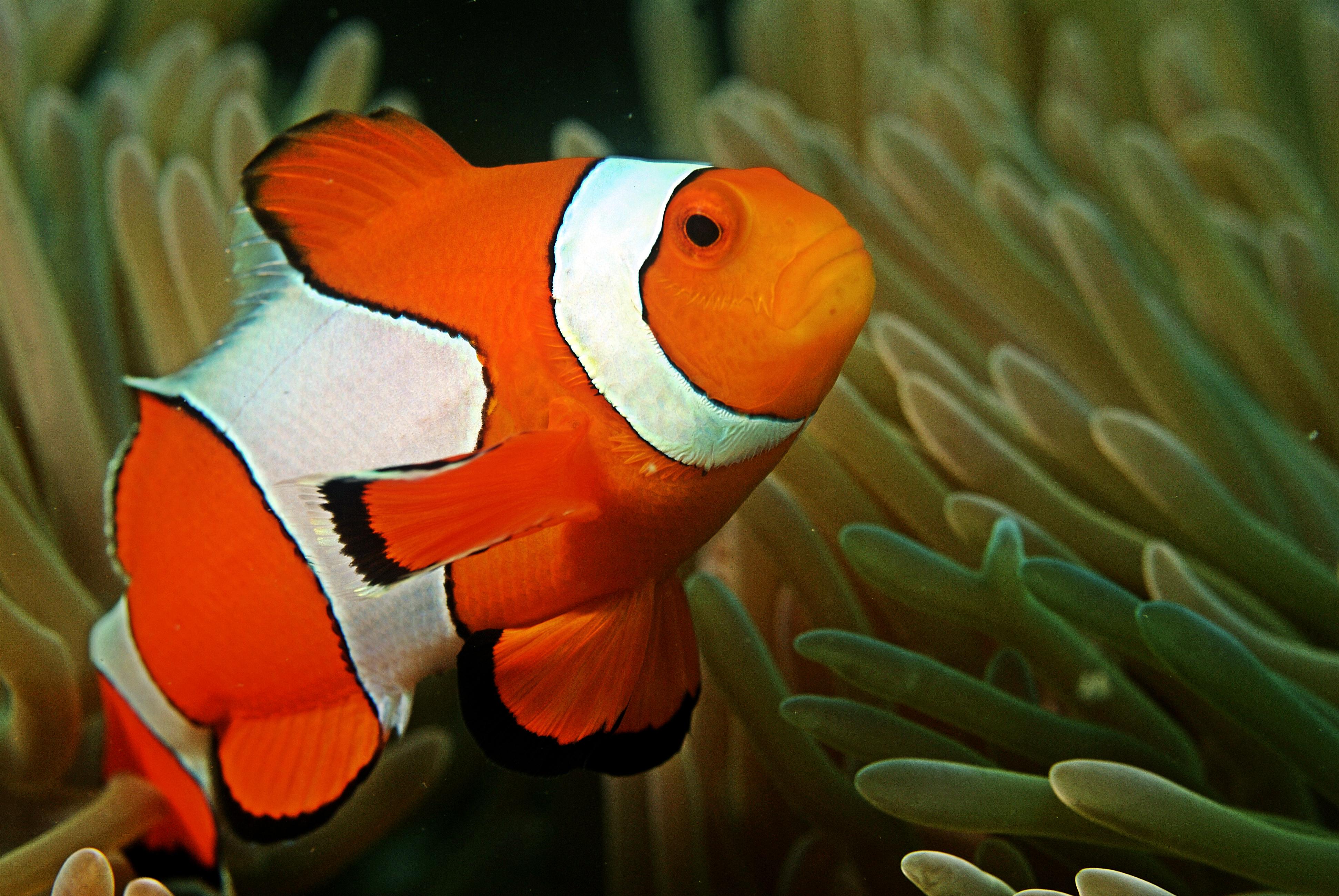 Рыба-клоун (амфиприон) фото