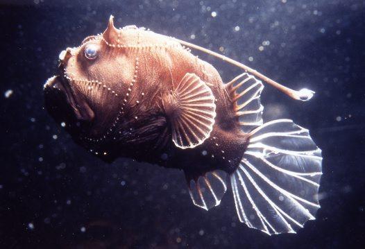 Удильщикообразный (морской черт) фото