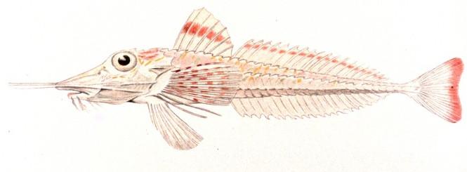 Бронированный морской петух фото
