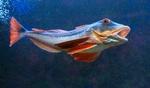 Бронированый морской петух