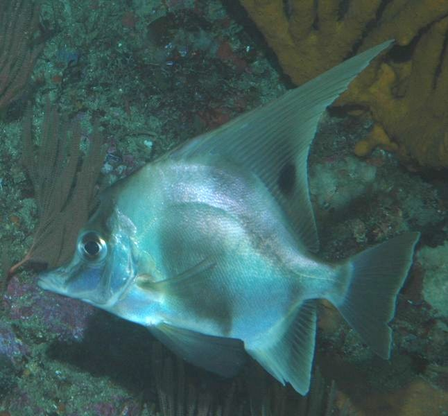 Рыба – кабан фото