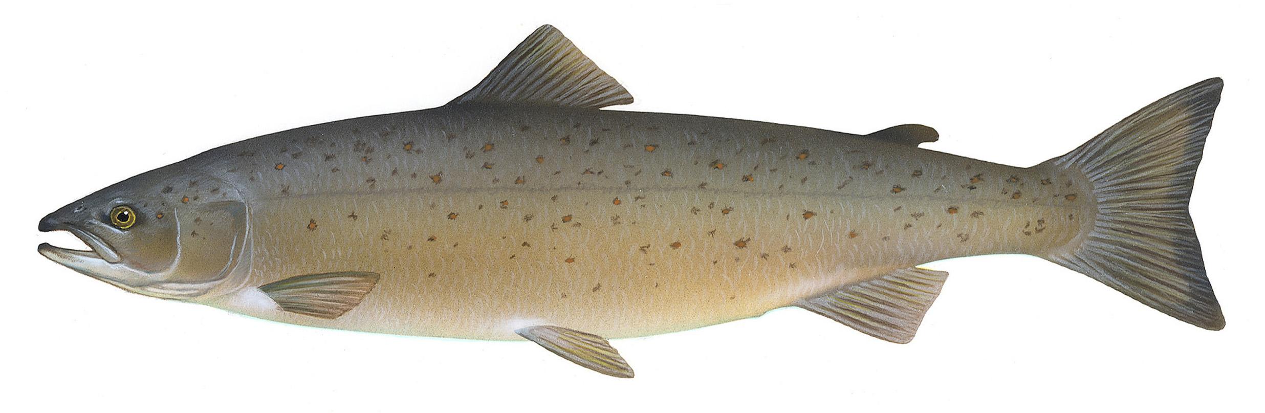 Атлантический лосось фото