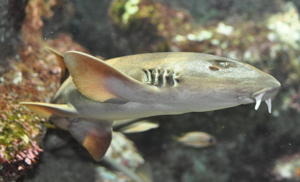 Азиатская кошачья акула фото