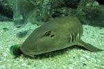Бамбуковая акула
