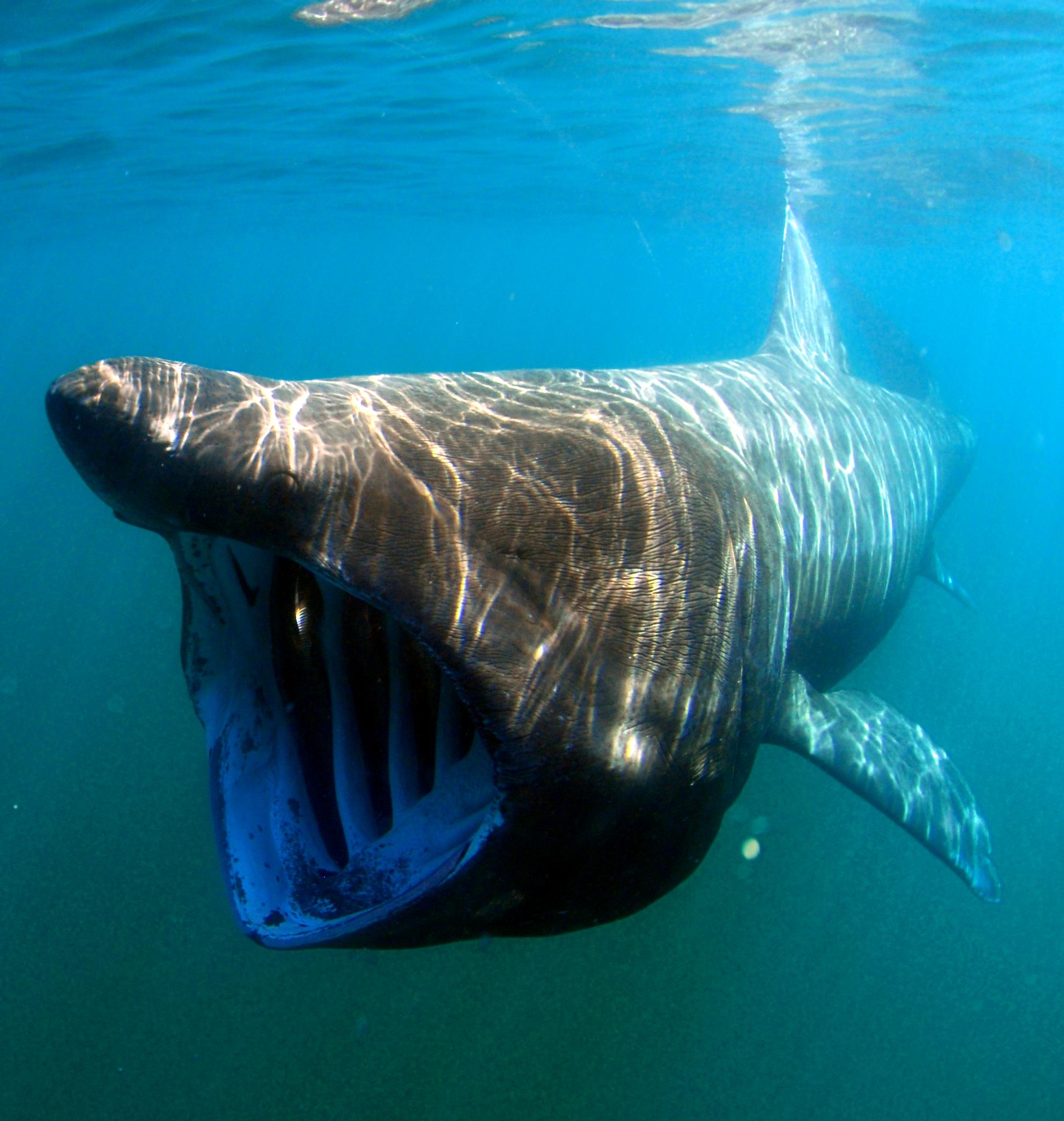 Гигантская акула фото