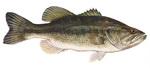 Рыба Бас