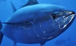 Красивый тунец