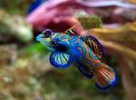 Красивая лировая рыбка
