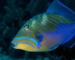 Красивая рыба спинорог-королевский