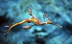 Симпатичный Морской дракон