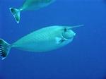 Красивые рыбы-единороги