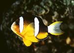 Красивая Рыба-клоун