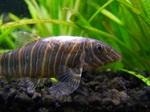 Красивое фото рыбы породы Боция Стриата