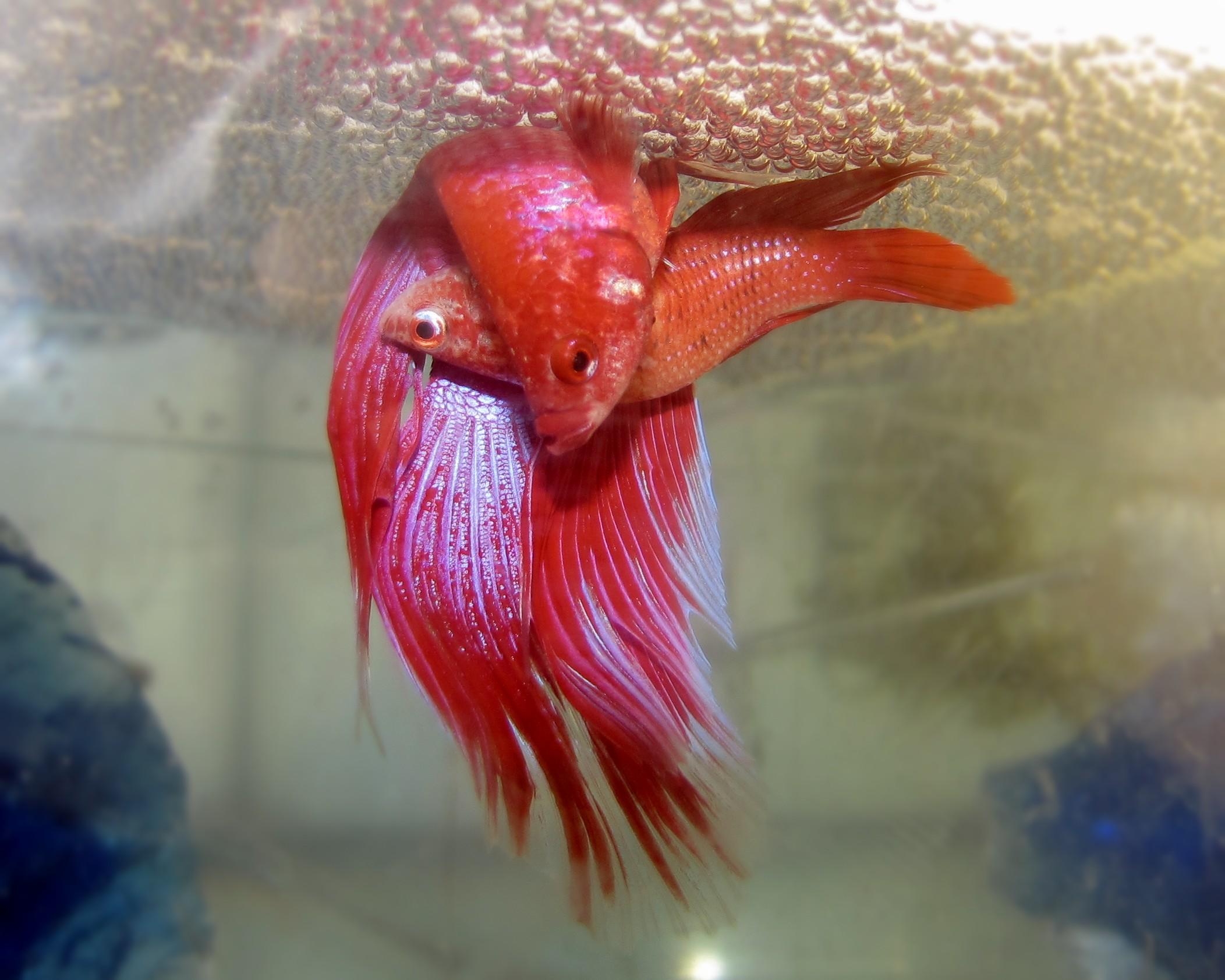 толстолобик рыба