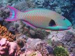 Двухцветная рыба-попугай