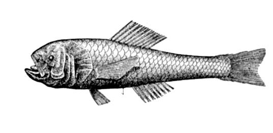 Меламфаевая рыба фото