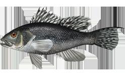 Черный морской окунь фото