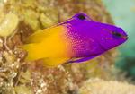 Баслет-рыба