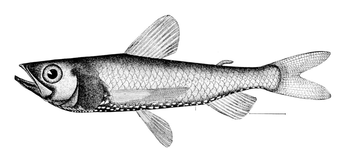 Неоскопеловая рыба фото