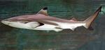 Ночная акула с боку