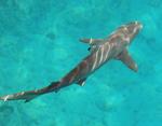 Ночная акула с верху