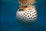 Рыба-удар на море