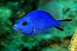 Голубой гамлет