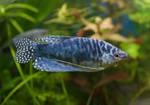 Голубая лабиринтовая рыбка