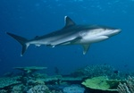 Голубая акула в море