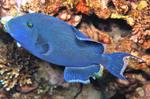 Голубая спинороговая плывет