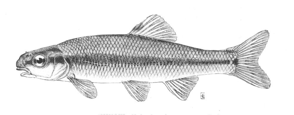Pimephales notatus фото