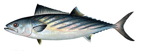 Малый тунец фото
