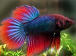 Симпатичная бойцовая рыбка