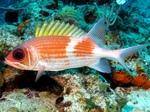 Красивая рыба-белка