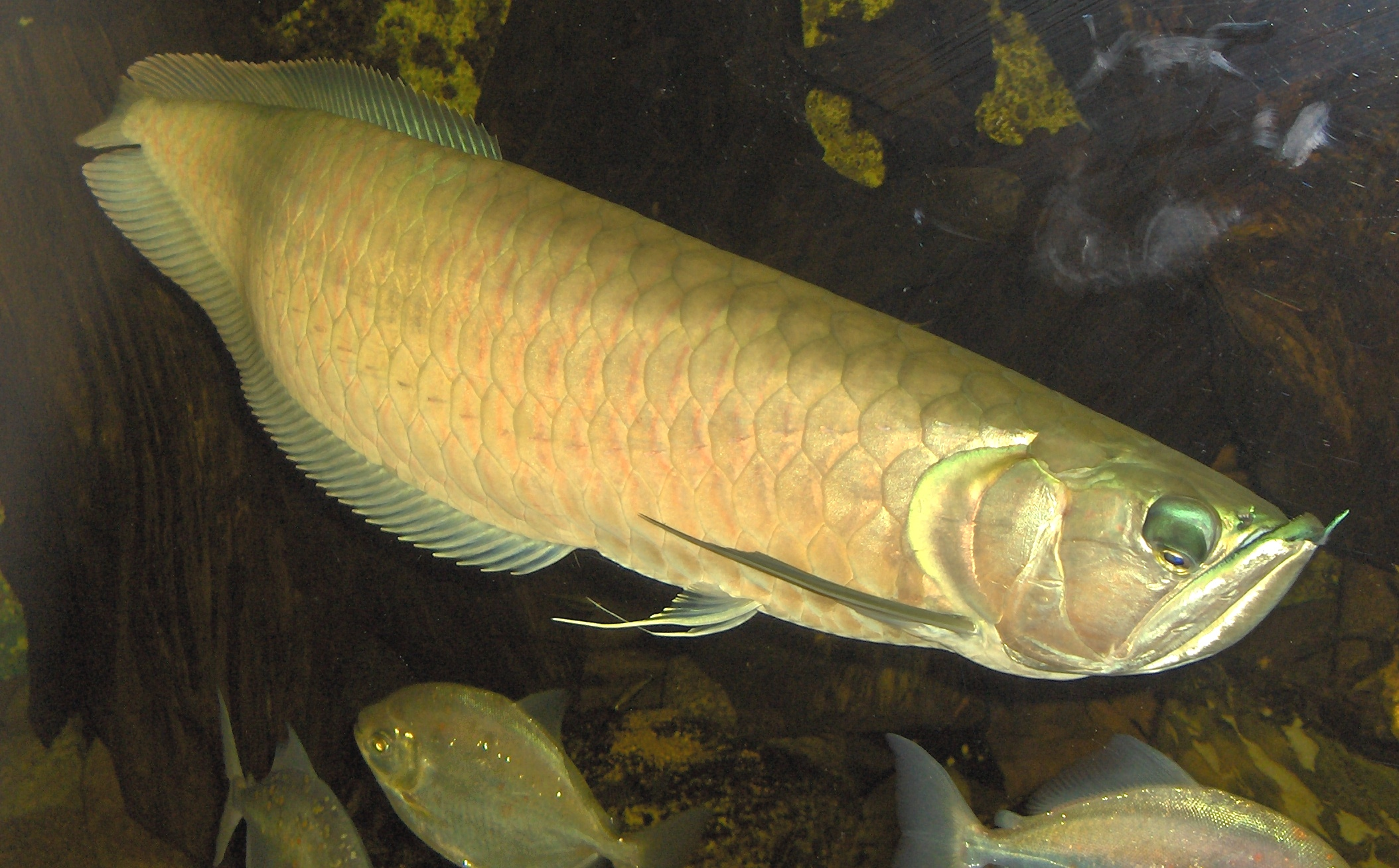 Аравановая рыба фото