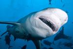 Челюсти акулы-быка