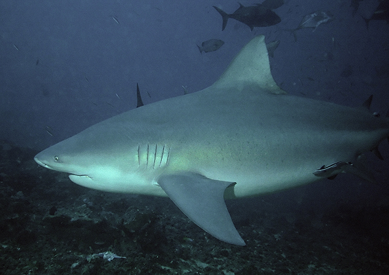 Акула-бык фото