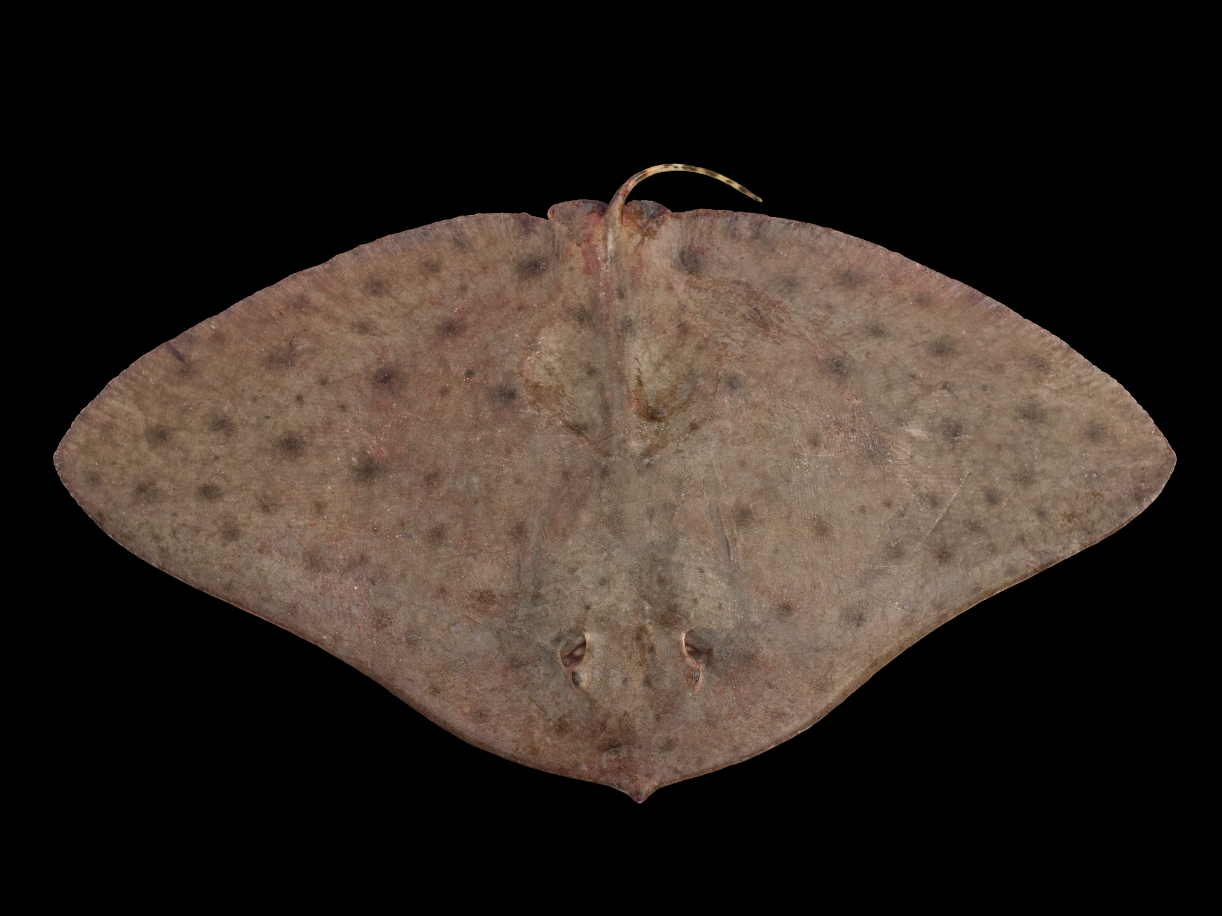 Атлантический скат-бабочка фото