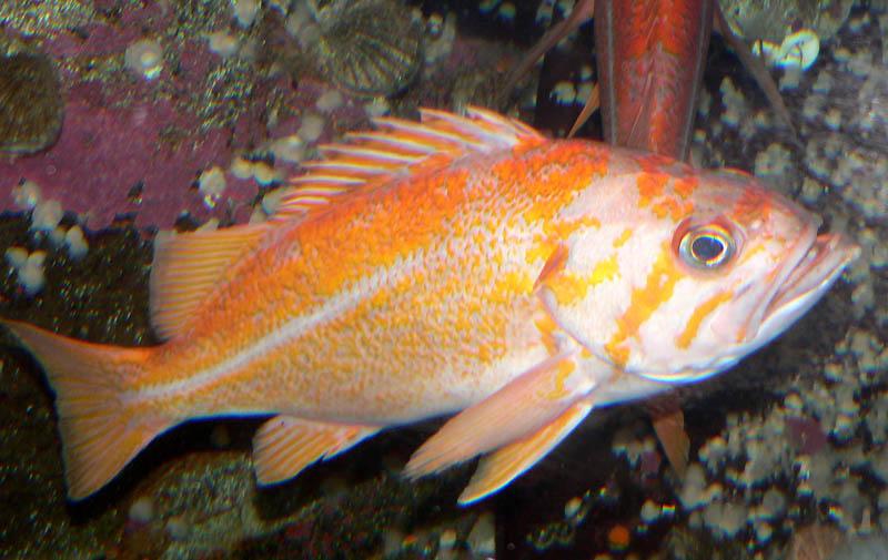 Оранжевый морской окунь фото