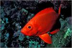 Рыба вида катафулы плывет